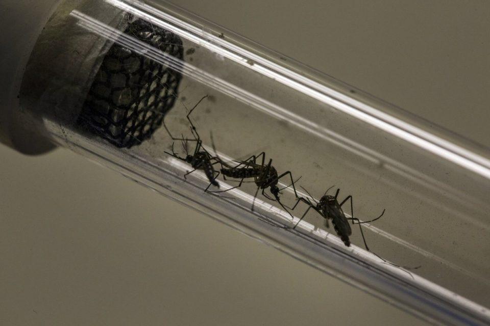 asi-son-los-mosquitos-modificados-geneticamente-que-financio-bill-gates