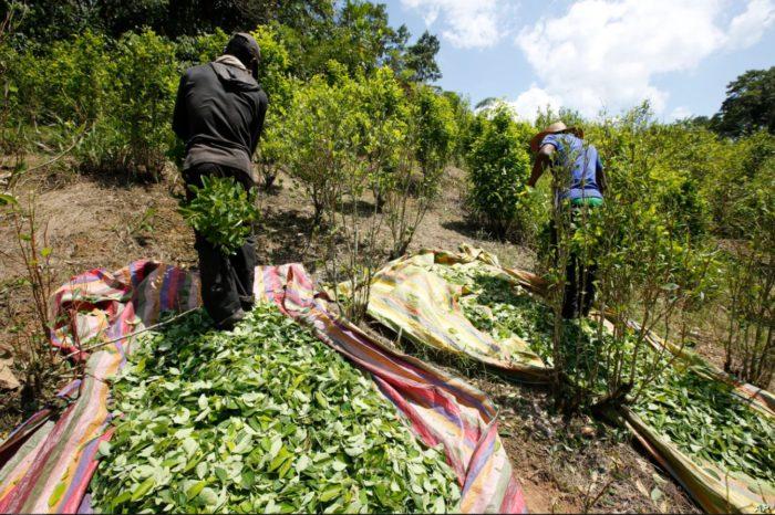 Tribunal logra frenar la destrucción de cultivos de coca en Colombia