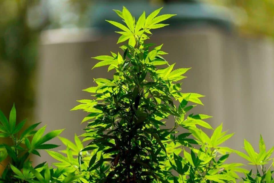progresiva-legalizacion-de-la-marihuana-en-eeuu-trastoca-los-planes-del-crimen-organizado-en-mexico